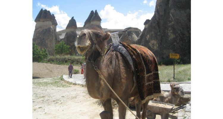 Dimaki-Travel-camel