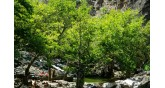 Samothraki-plane trees