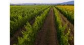 Oinogenesis-vineyard