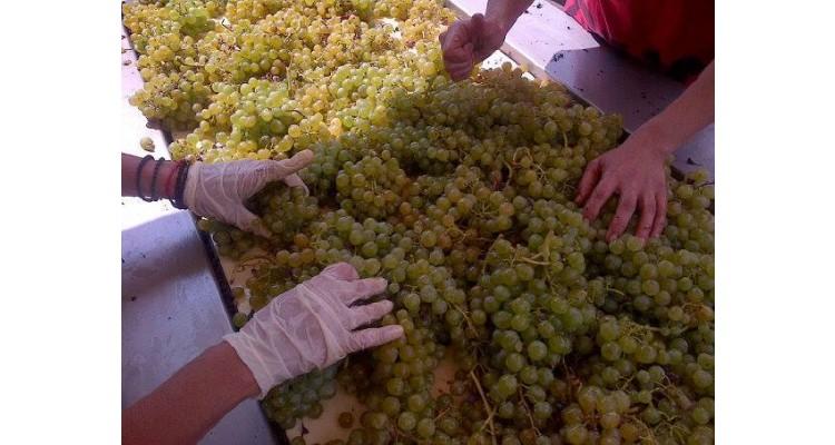 Oinogenesis-vine harvest
